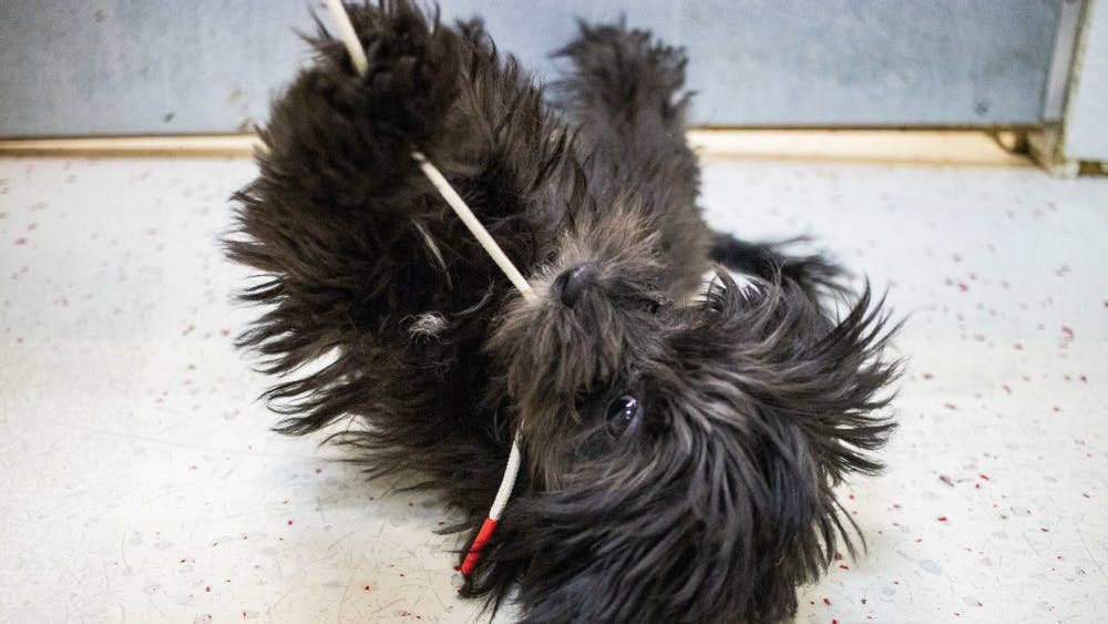 A female Lhasa Poo puppy plays with a shoe string Aug. 30 in Anthony's Pets. A Lhasa Poo is a lhasa apso and poodle mix.