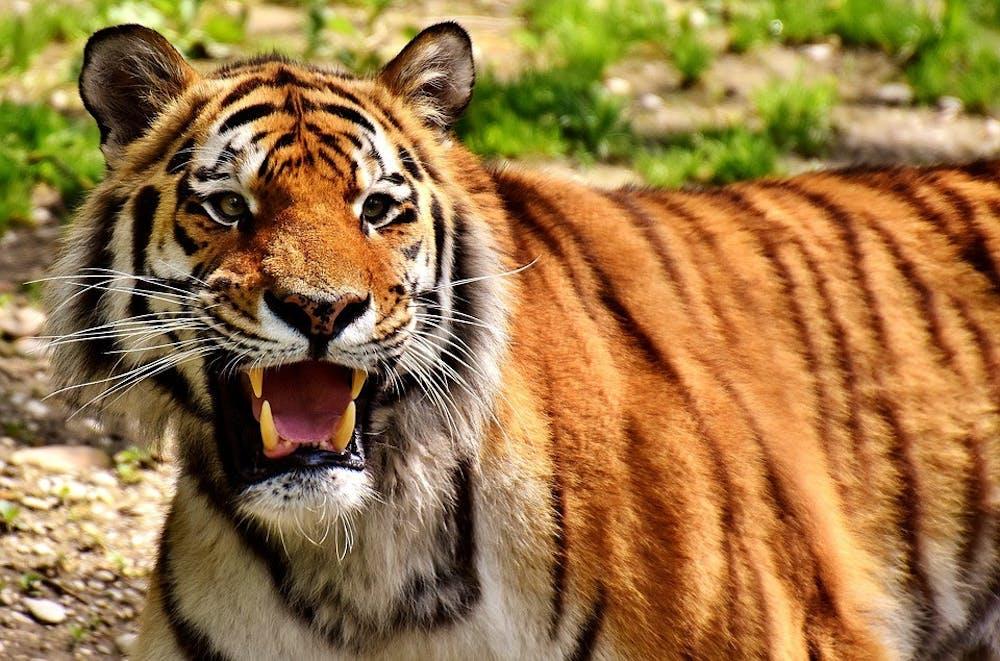 b8-tiger