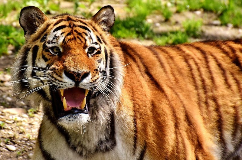 PUBLIC DOMAIN Genetic analysis of tigers shows there may be six distinct subspecies.