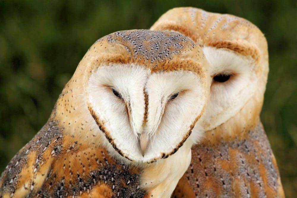owls2-0