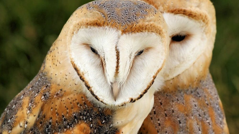 STEVE GARVIE / CC BY-SA 2.0 PETA argues that barn owls were held in Hopkins facilities in violation of Maryland state law.
