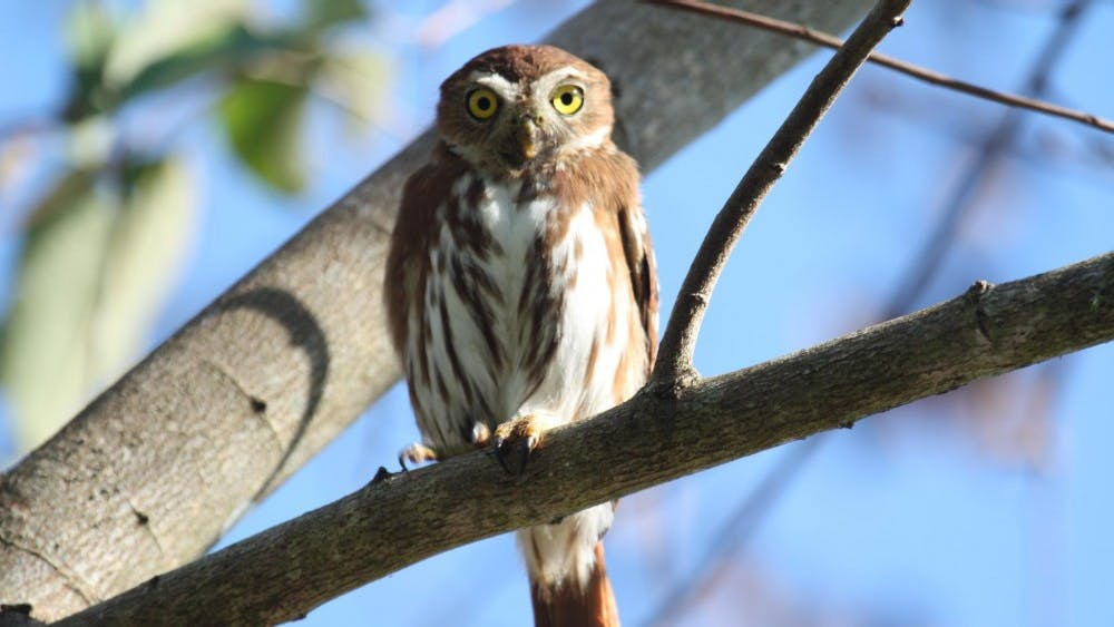 PUBLIC DOMAIN Many animal species, such as the pygmy-owl, will be affected by the proposed border wall extension.