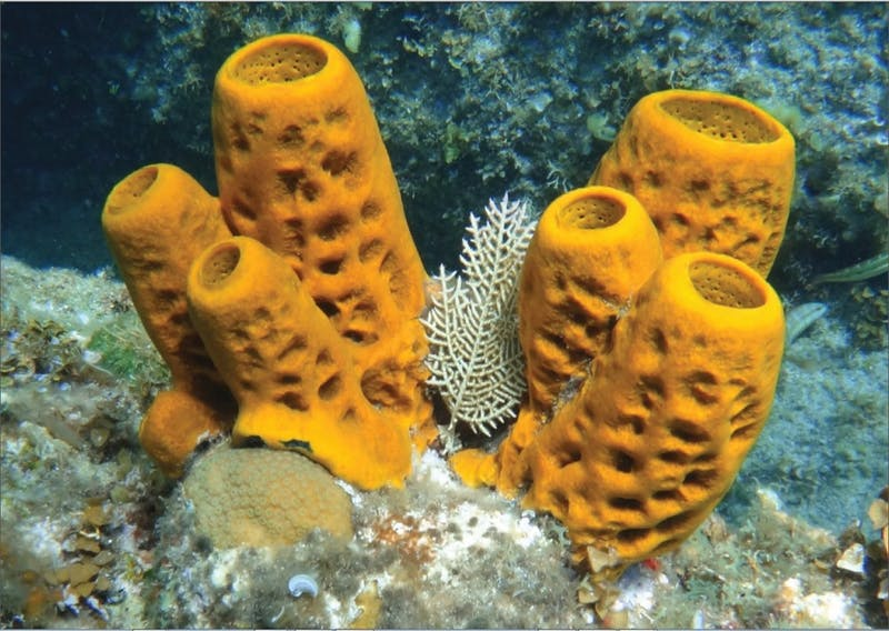 PUBLIC DOMAIN  Sponges are one of the simplest multicellular organisms found on Earth.