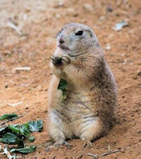 Public domain Prairie Dog populations in the Texas and Mexico are decreasing because of invasive feral cats.
