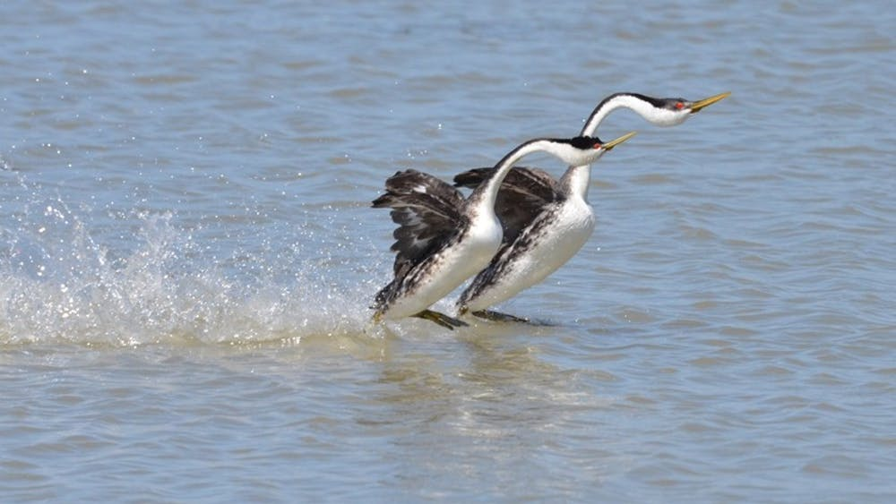 WAYNE WATSON, USFWS / CC By 2.0 Two western Grebe birds appear to walk on water as they take part in a mating ritual.