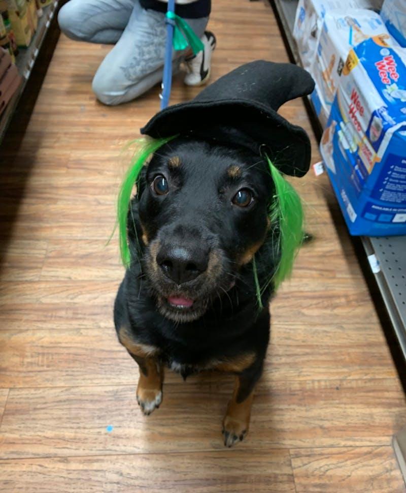 COURTESY OF GABI SWISTARA Maggie, Swistara's own rescue dog of seven years, is getting her Halloween costume.