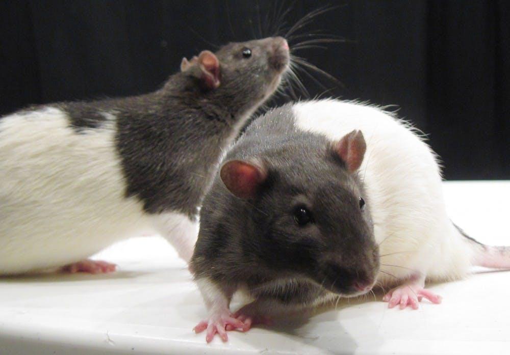b9_rats