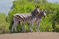 FLOPPY/CC BY 2.0 Longmore and Wich developed infrared cameras to help count endangered animals, such as zebras.