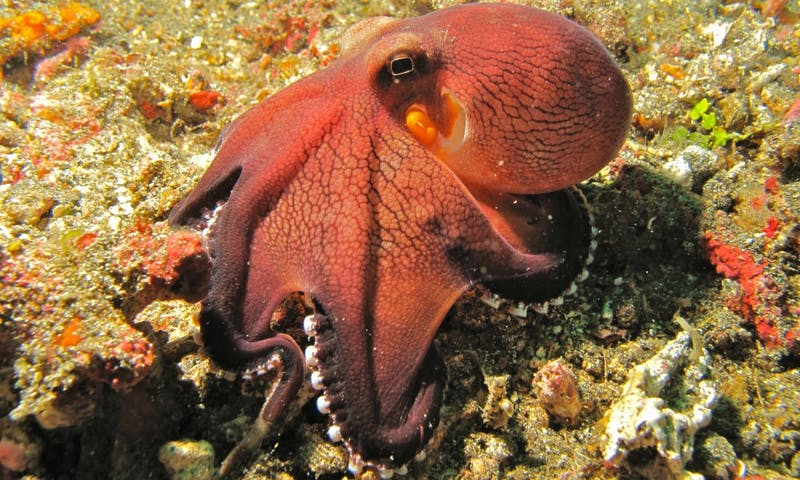 BERNARD DUPONT/ CC BY-SA 2.0  Scientists recently found evidence that octopuses and humans have genetically-similar serotonin receptors.
