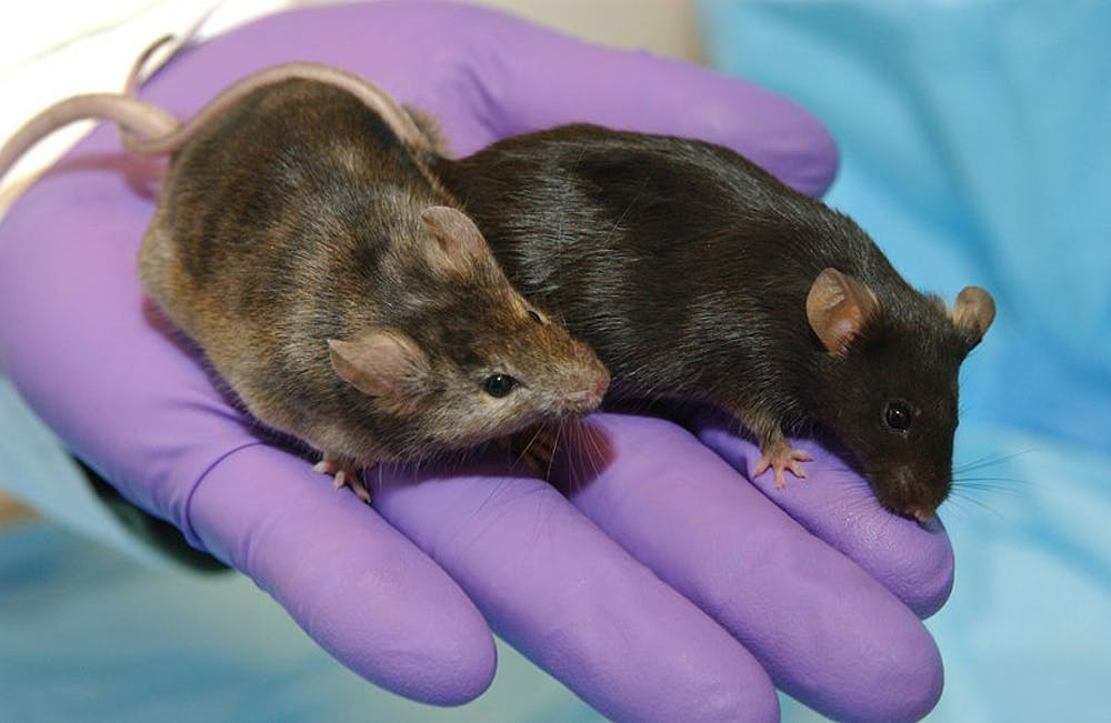 High fat diet displays health benefits in mice
