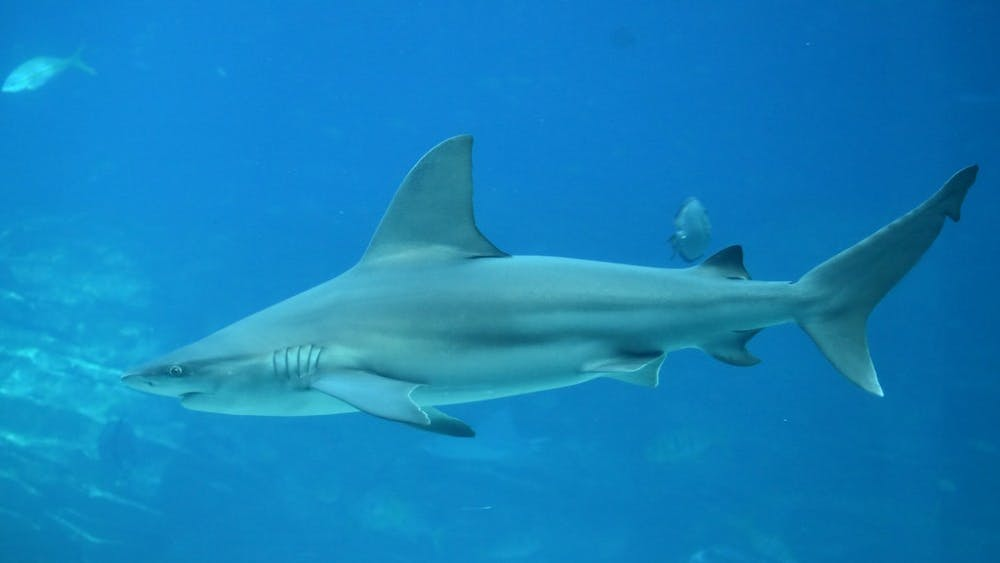 LAURA WOLF/CC BY 2.0  Genome stability in sharks mean similar research could be done on humans.