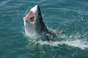 TRAVELBAG LTD./CC BY 2.0  The likelihood of being fatally attacked by a shark is one in 3,700,000.