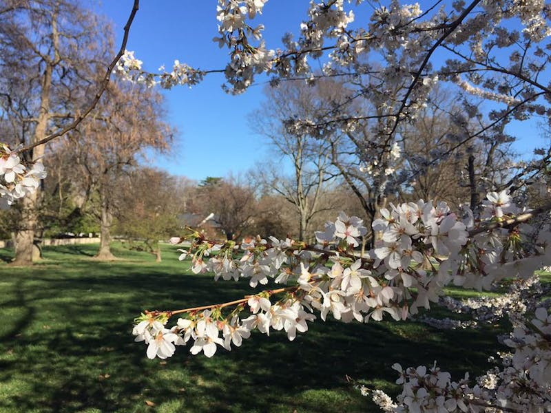 COURTESY OF NATALIE WU Cherry trees in Guilford neighborhood, one of Wu's favorite jogging locations.