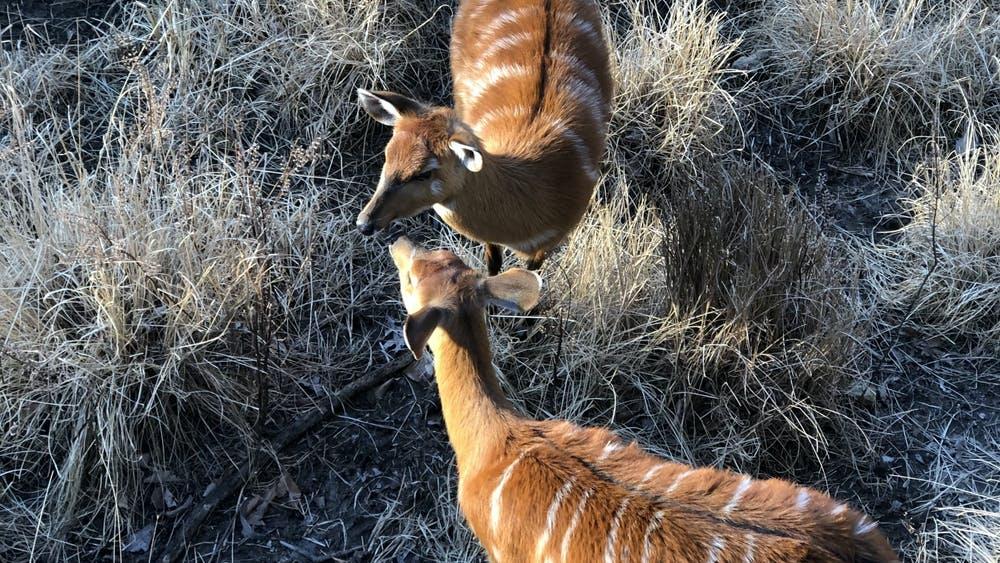 COURTESY OF RUDY MALCOM One of Malcom's favorite animals at the Zoo is the sitatunga, a swamp-dwelling antelope.