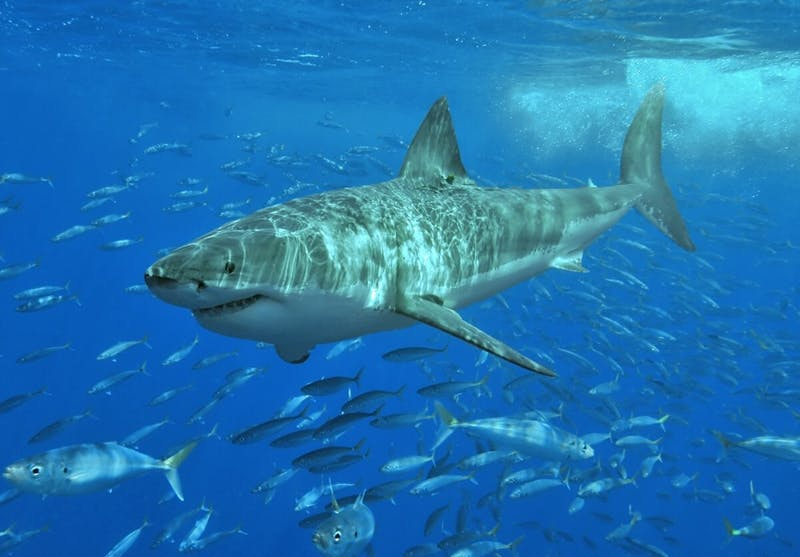 TERRY GROSS/ CC BY-SA 3.0 Researchers discovered that great white shark numbers are shrinking while sevengill shark sightings are increasing.