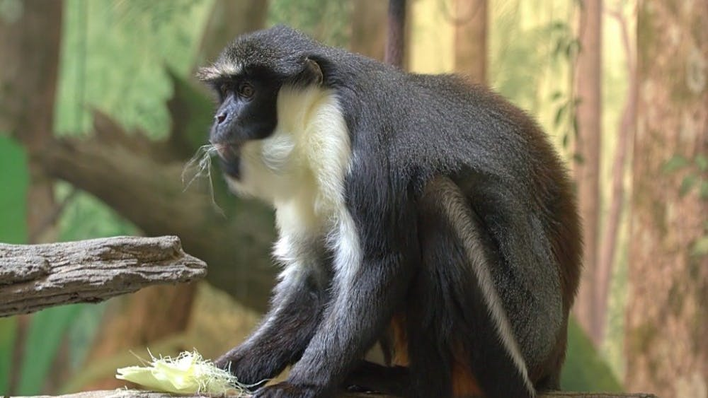 HUME/CC-By-3.0 This species of Dryas monkey was discovered in the Democratic Republic of Congo.