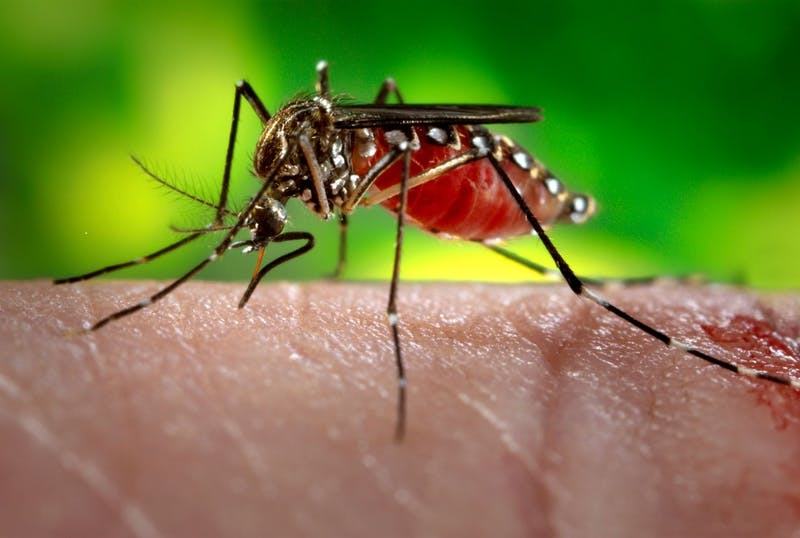 PUBLIC DOMAIN The Zika virus, transmitted by mosquitoes, can help treat brain cancer.