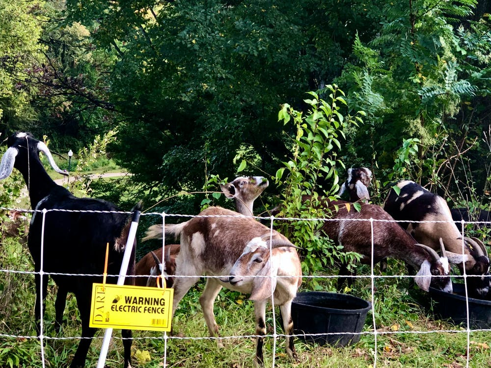 COURTESY OF RUDY MALCOM Eco-Goats are an adorable part of clearing Wyman Park Dell's dense foliage.