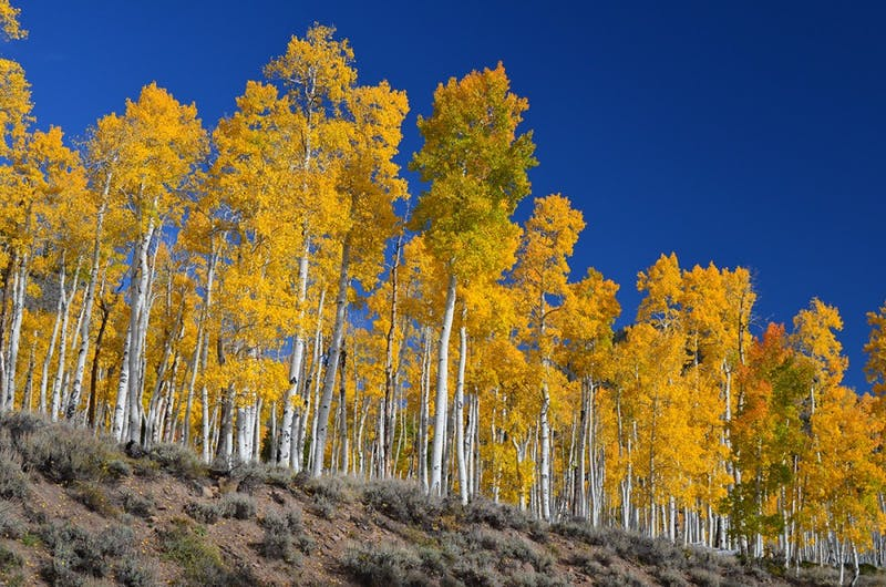 PUBLIC DOMAIN Pando, a colony of aspens with one massive underground root system, has been shrinking.