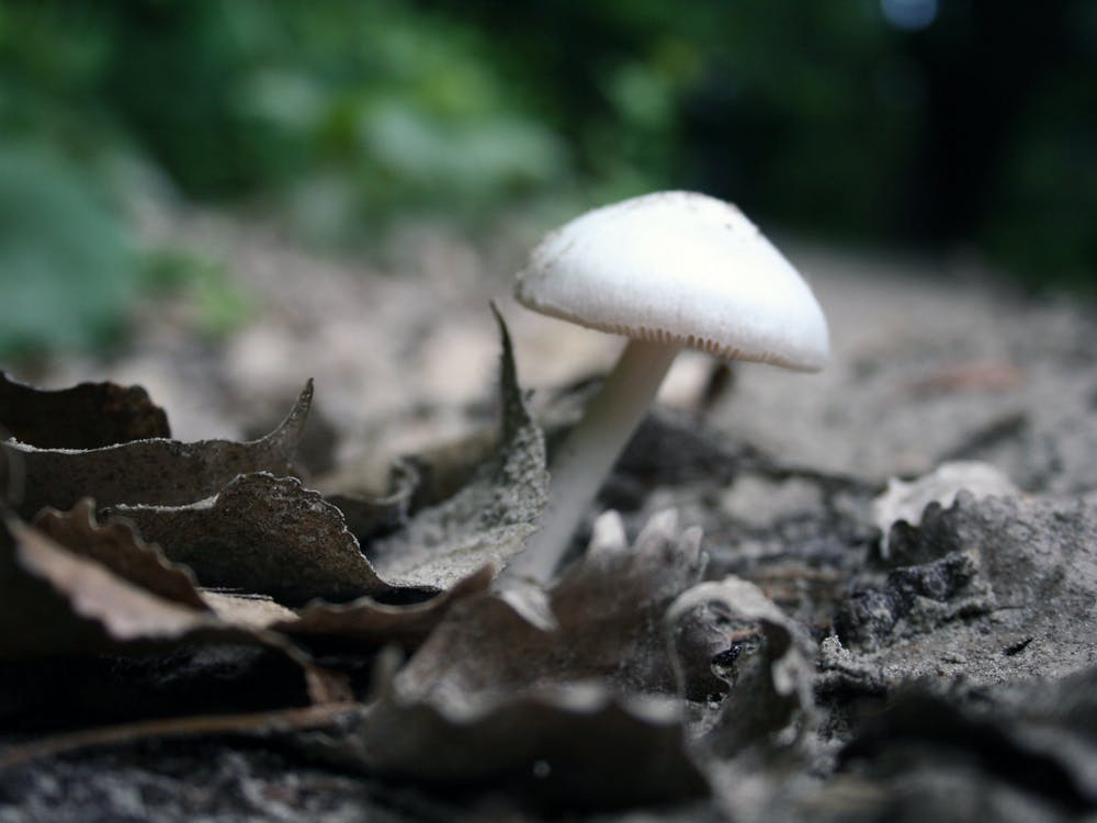 "PUBLIC DOMAIN Researchers hope to understand the long-term mental effects of psilocybin, the hallucinatory component of ""magic mushrooms."""