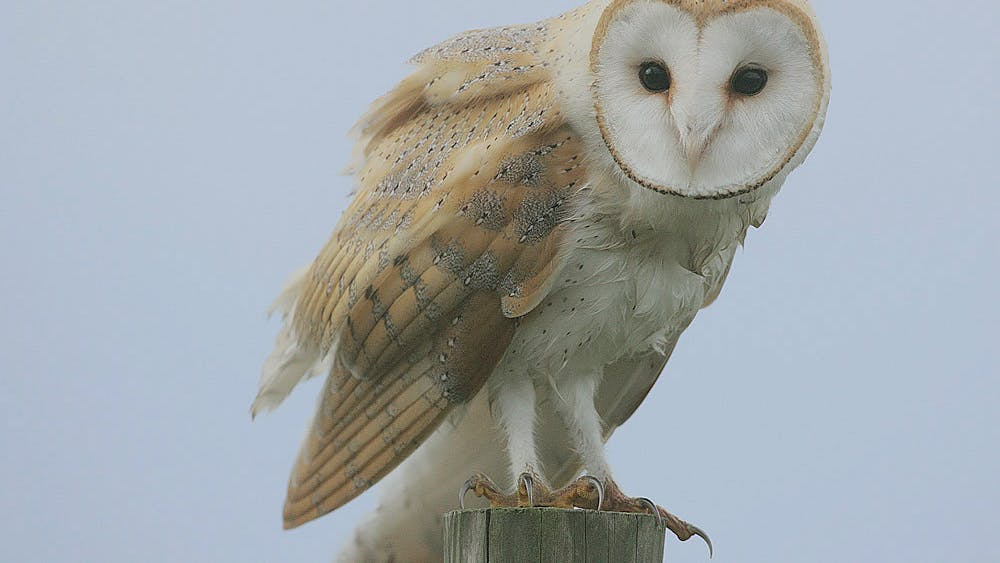 COURTESY OF STEVE GARVIE / CC BY-SA 2.0 The lab conducts experiments on barn owls which has raised concerns with PETA.