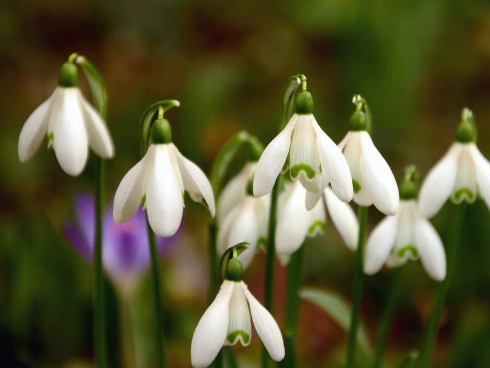 PUBLIC DOMAIN Isaacs remembers her friend, who loved snowdrops.