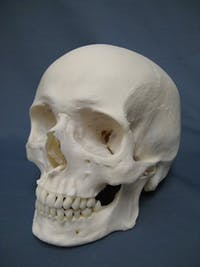PUBLIC DOMAIN Bone marrow in the skull has been identified to contribute greatly to the migration of immune cells.