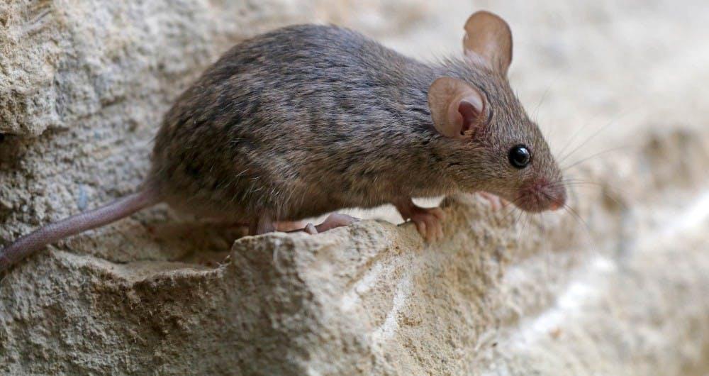 B9_mice