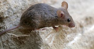 PUBLIC DOMAIN  Mice in Manhattan are found to carry various antibiotic-resistant strains.