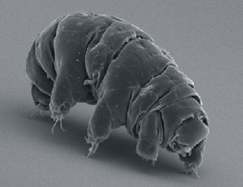 SEM_image_of_Milnesium_tardigradum_in_active_state_-_journal.pone_.0045682.g001-2-1024x785