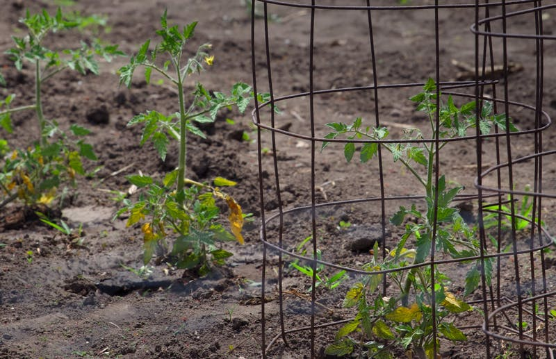 Tomato plants grow protected by wire cages in a front yard vegetable garden in Falcon Heights on Wednesday, June 15. (Audrey Rauth / Minnesota Daily)