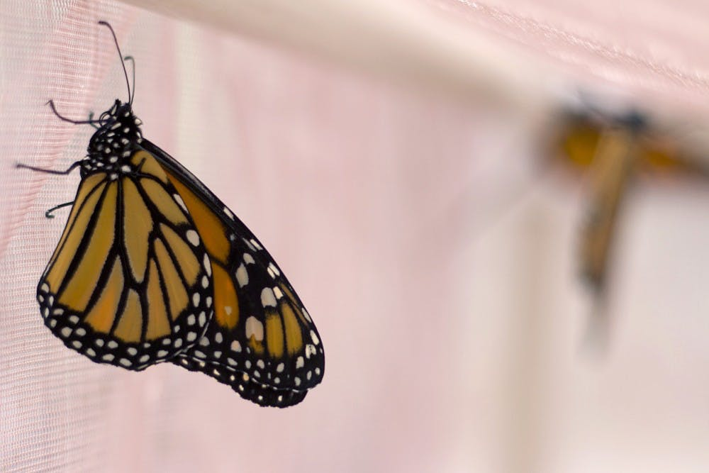 Citizen science aided research delves into monarch larva population