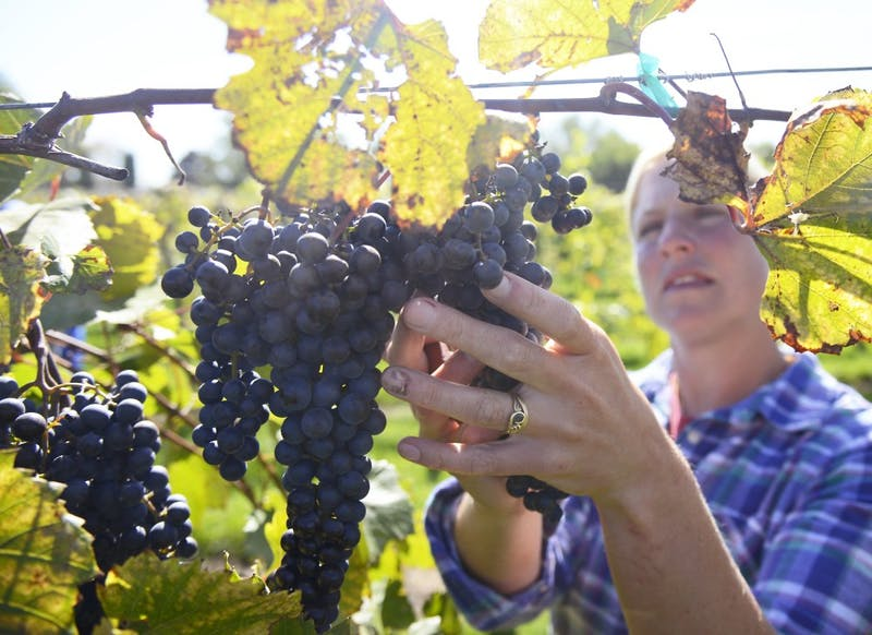 Jenny Thull, University of Minnesota Horticulture Research Center vineyard manager, picks grapes rich in color at the University's vineyard in Excelsior, Oct. 1. Jenny and her husband, John Thull, also a vineyard manager, oversee the school's grape breeding program's 11 acres of research vineyards.