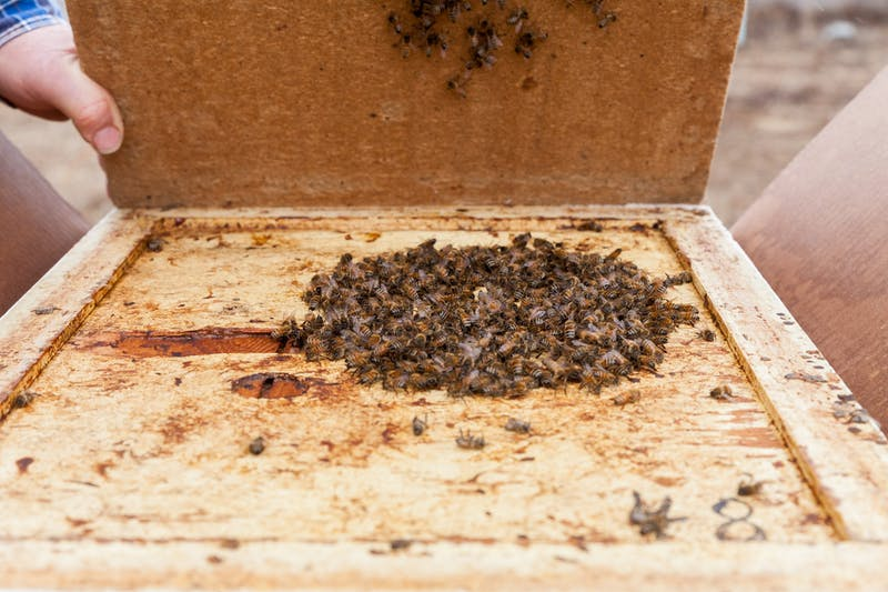 Beekeeper Gary Reuter opens a brood box at the University of Minnesota Bee Laboratory on Monday, March 16. The bees huddle together and flex their flight muscles in order to stay warm and survive the winter.