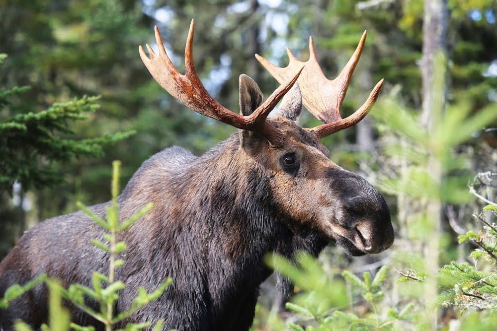 Crowdfunded research works to protect Minnesota's moose from brainworm