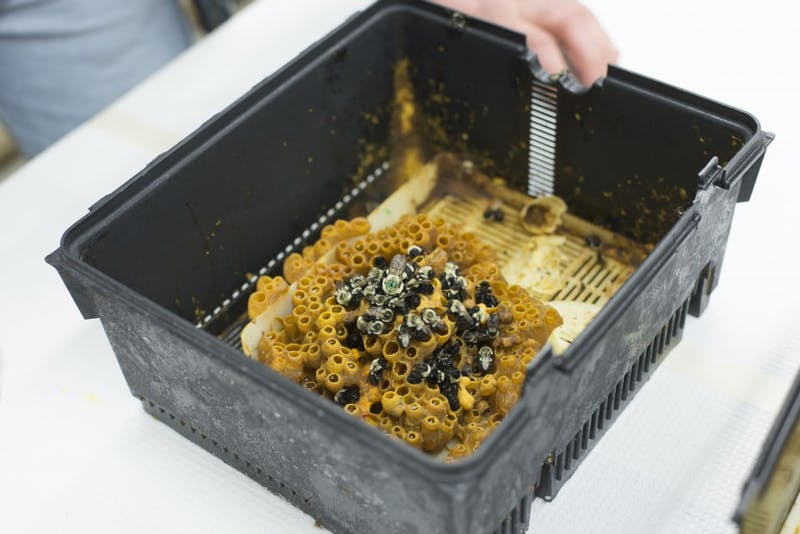 A frozen colony of bumblebees is seen on a table in Dr. Vera Krischik's lab in Hodson Hall on Tuesday, March 26.