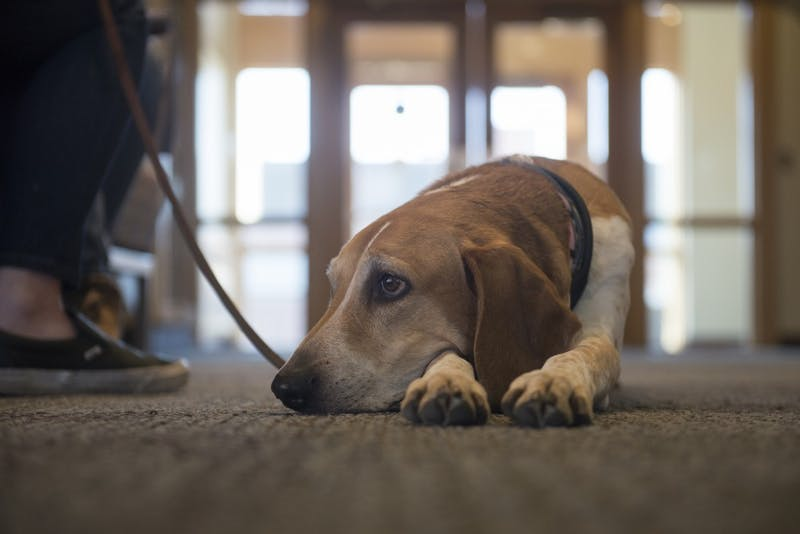 "Kajsa, who suffers from Canine Atopic Dermatitis, a chronic allergic skin condition, lays on the floor at the Ben Pomeroy Student-Alumni Learning Center on Friday, March 29. Her owner, Helena Montin, a second year vet student, says, ""she's a big part of why I wanted to go to vet school."""