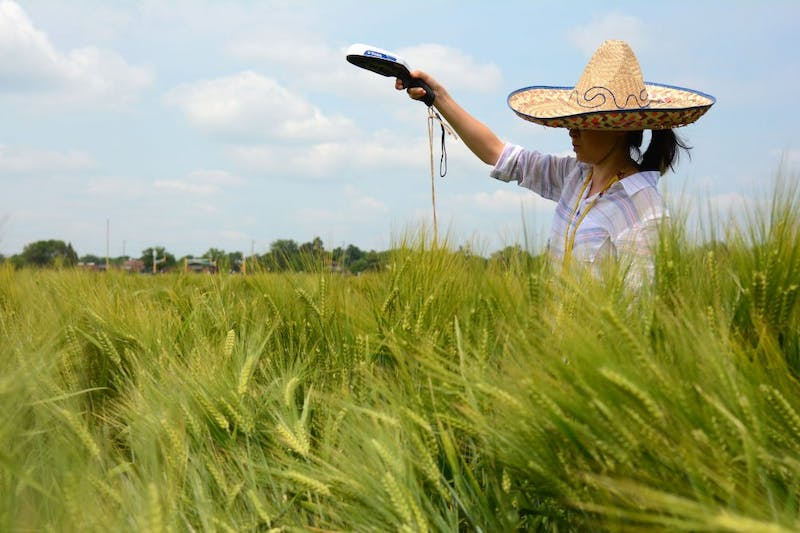 Applied Plant Sciences graduate student Lu Yin measures the maturity of barley stalks in the St. Paul campus field plots on June 30.