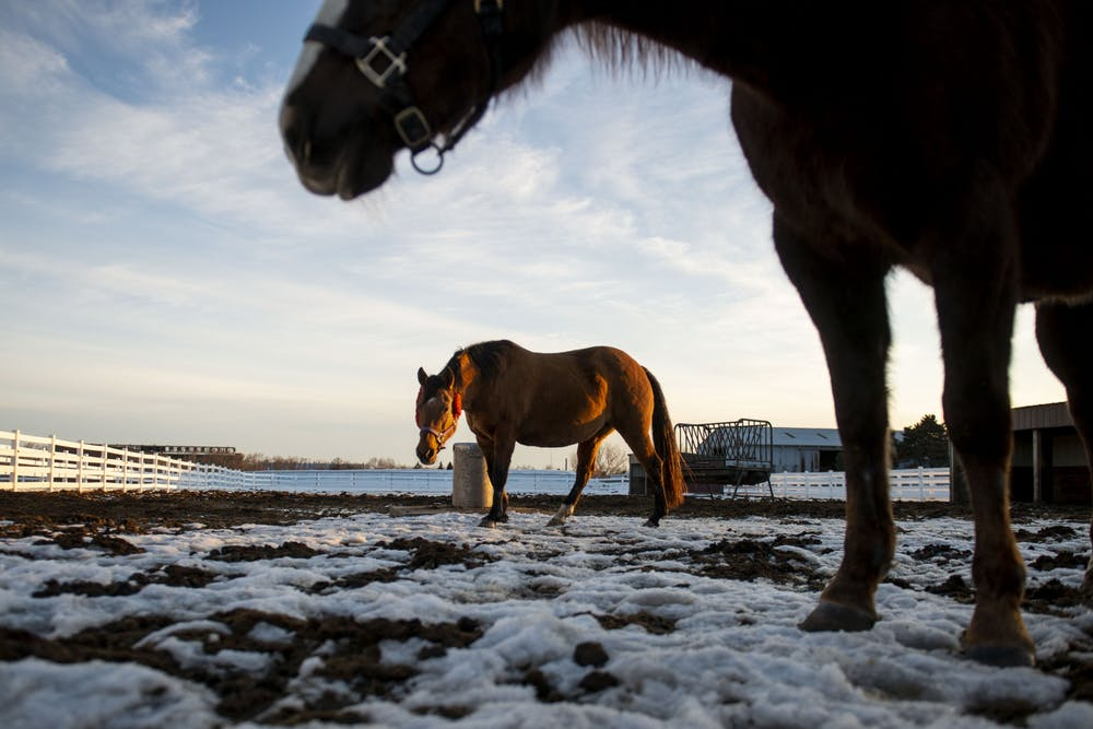 Researchers study irregular horse heartbeats, hoping to find a cure