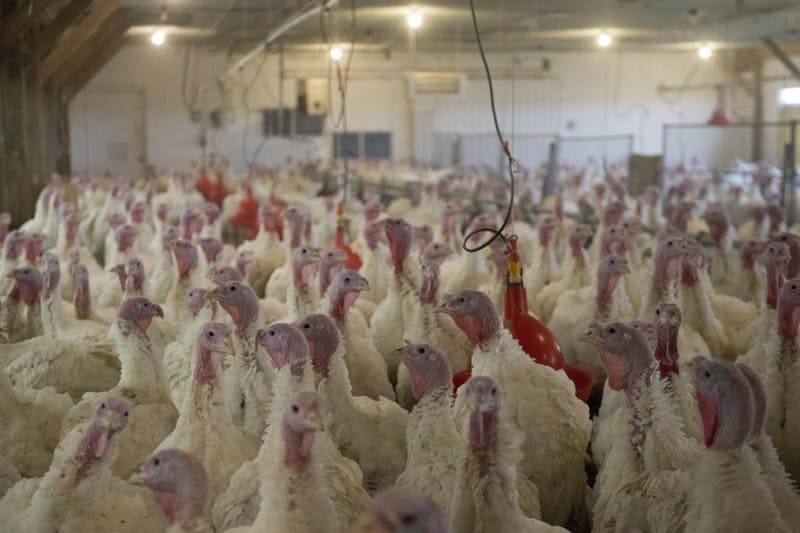 Turkeys gather in a holding pen at the Rosemount Research & Outreach Center at UMore Park on Thursday, Oct. 31. A study lead by Tim Johnson, a University associate professor, found that customized probiotics perform the same as low-dose antibiotics in maintaining turkey health.