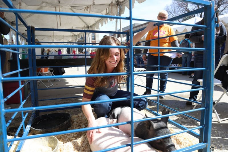Veterinary graduate student Taylor Homann pets pigs during Agriculture Awareness Day on Northrop mall on April 16. Homann works closely with the University to prevent the spread of African swine.