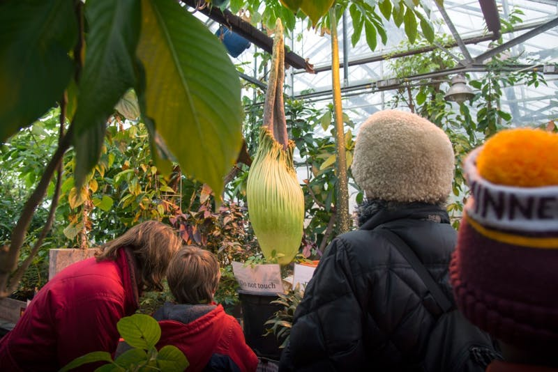 "People gather around the College of Biological Science's Titan Arum or ""Corpse Flower,"" which is expected to bloom very soon. The flower only blooms every 10 years, and when it does it is said to smell like rotting flesh."