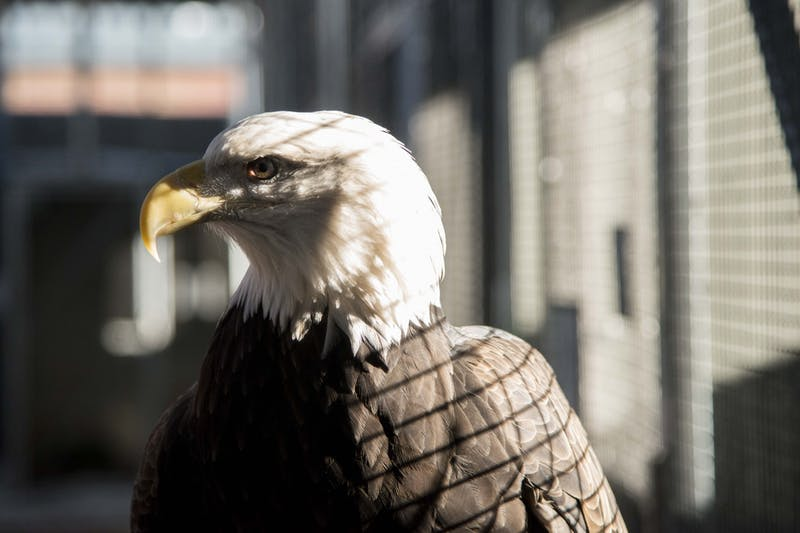 A Bald Eagle at the Gabbert Raptor Center as seen on Tuesday, Dec. 3. Researchers are evaluating the auditory responses in eagles, which are among the most common species of bird killed by wind turbines, as part of an ongoing effort to prevent fatalities caused by collisions.