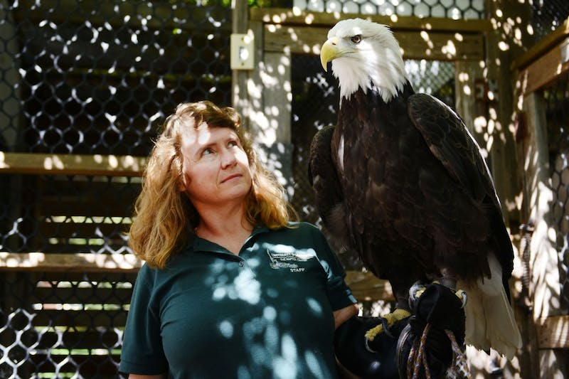 Part-time presenter Joanne Peterson moves a bald eagle from its cage to a new location on Sunday at the Raptor Center. The Raptor Center, located on the St. Paul campus, recently received funding to create an online based curriculum raptor lab for seventh- and eighth- graders.