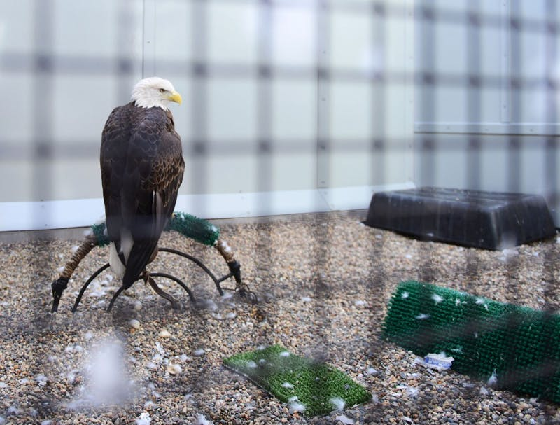 Gladdie the bald eagle sits on display in a habitat at the Raptor Center on the St. Paul campus on Monday. Gladdie is permanently injured and stays at the Raptor Center for educational purposes. The Raptor Center treats injured eagles like Gladdie, many of which were harmed during deer hunting season.