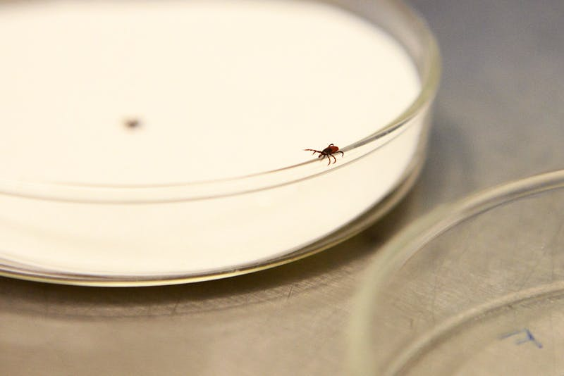 A blacklegged tick used in research on tick-borne pathogens at the University of Minnesota crawls across a petri dish in the Hodson Hall tick lab on Thursday, Jan. 28, 2016.