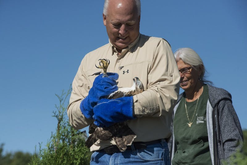A male red-tailed hawk is released by CNC volunteers Jeff Carlson and Stacy Carlson on Saturday, Sept. 22. The hawk had been seen hitting multiple windows in Minneapolis before being admitted to the University's Raptor Center.