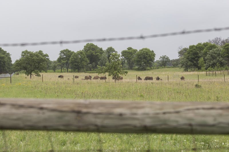 Bison roam Cedar Creek Ecosystem Science Reserve's oak savannas as part of a new program to restore the savannas on Sunday, June 17.