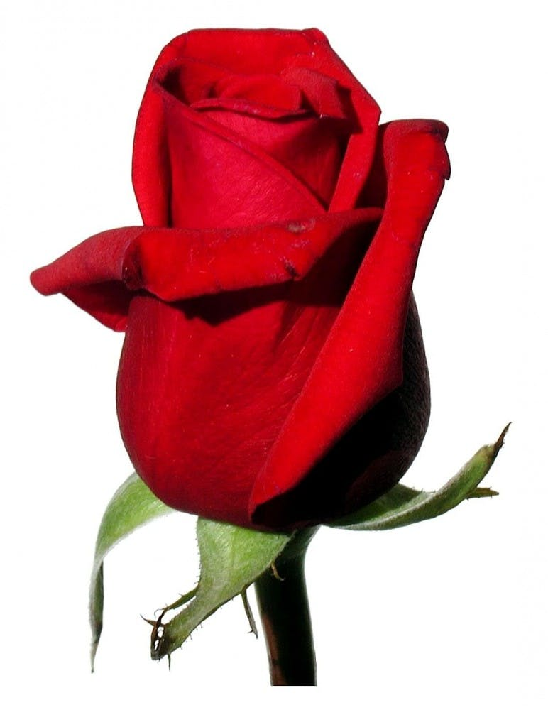 Rose_red_on_white_background