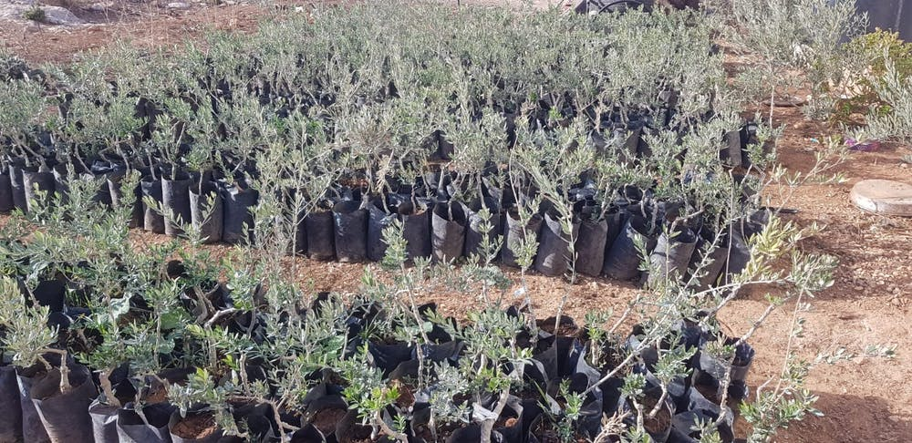 TreeWater Initiative hosts fundraiser to plant Palestinian olive trees